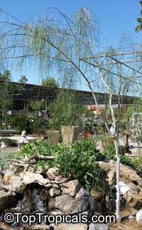 Mariosousa willardiana, Acacia willardiana, Palo Blanco, Willard Acacia, White Barked Acacia  Click to see full-size image
