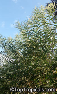 Buddleja paniculata, Butterfly bush  Click to see full-size image