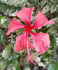 Hibiscus rosa-sinensis variegatus, Variegated Hibiscus, Hibiscus Cooperi  Click to see full-size image