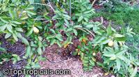 Psidium guajava, Tropical Guava, GuajavaClick to see full-size image