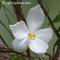 Bauhinia acuminata, Dwarf White Orchid Tree, White Bauhinia, Kaa-long, Snowy OrchidClick to see full-size image