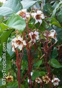 Strophanthus preussii, Medusa-Flower, Poison Arrow Vine, Spider Tresses