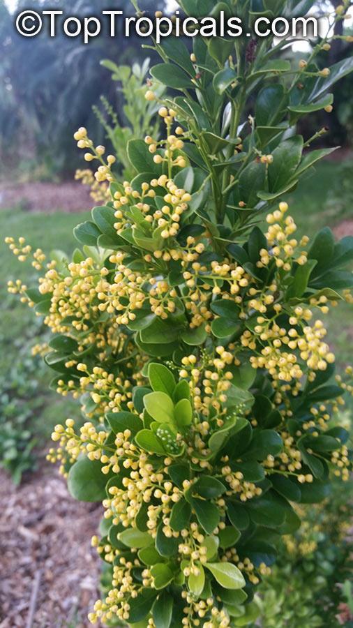 Aglaia odorata, Chinese Perfume Plant, Chinese Rice Flower, Mock