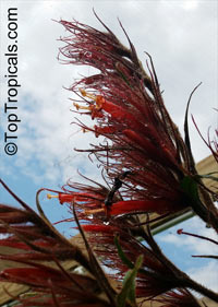 Sanchezia stenomacra, Blood Red Feather  Click to see full-size image