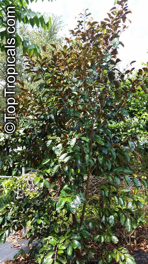 Chrysophyllum cainito, Achras caimito, Caimito, Star Apple ...