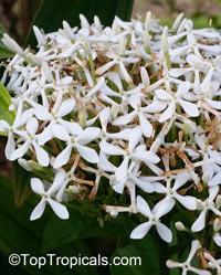 Ixora finlaysoniana, Ixora fragrans, Fragrant Ixora  Click to see full-size image