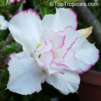 Adenium Beauty Queen, Grafted  Click to see full-size image