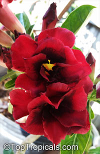 Adenium Immortality, Grafted  Click to see full-size image