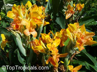 Canna indica, Canna x generalis, Canna Lily, Indian Shot