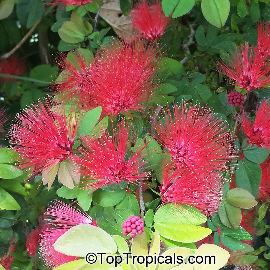 Garden Bush: Calliandra Emarginata, Inga Emarginata, Powderpuff
