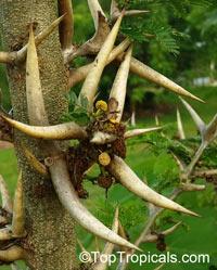 Acacia collinsii (sphaerocephala) - Bulls-Horn AcaciaClick to see full-size image