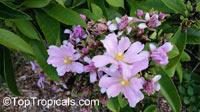 Pereskia grandifolia, Rhodocactus grandifolius, Rose Cactus, Wax Rose, Perescia, Bastard Rose  Click to see full-size image