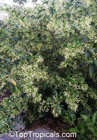 Cestrum nocturnum, Night Blooming Jasmine, Queen of the Night, Night Jessamine, Lady of the Night
