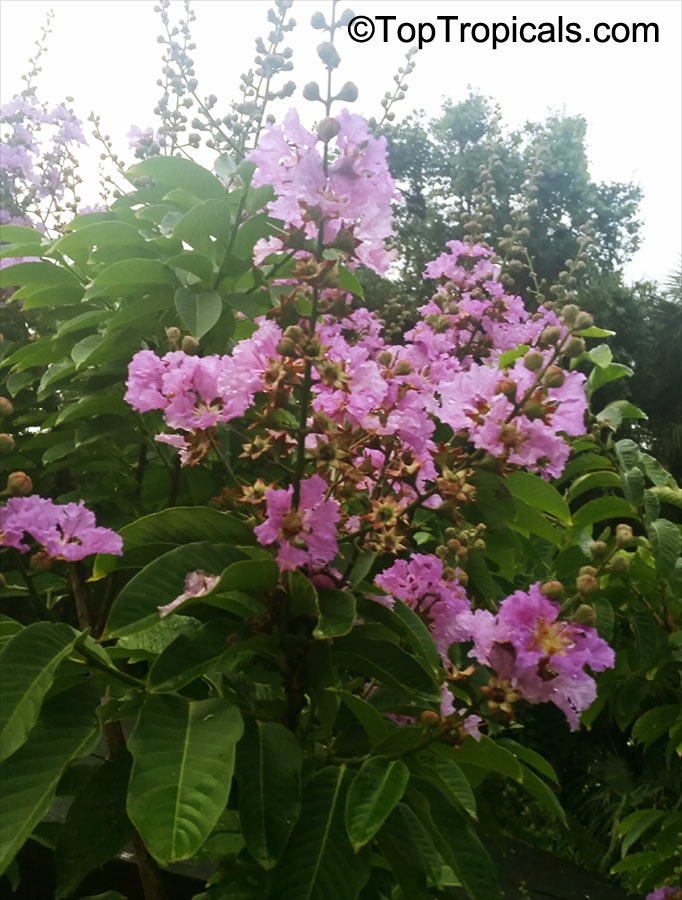 Toptropicals rare plants for home and garden lagerstroemia floribunda seeds click to see full size image mightylinksfo