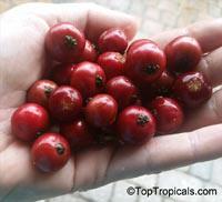 Muntingia calabura, Strawberry tree, Jam tree, Jamaican / Singapore / Panama cherry, Cotton Candy Berry, Calabura, Manzanil  Click to see full-size image