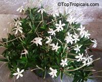 Augusta (Alibertia) rivalis - Marmelada, Star of Belize  Click to see full-size image