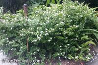 Wrightia antidysenterica, Snowflake, Milky way, Winter Cherry Tree, Arctic Snow, Pudpitchaya, Sweet Indrajao, HyamaracaClick to see full-size image