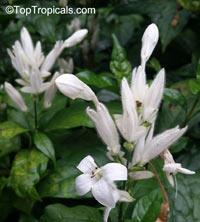 Whitfieldia elongata, Whitfieldia longiflora, Ruellia longifolia, White Candles  Click to see full-size image
