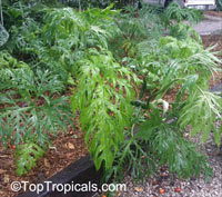 Philodendron warszewiczii, Philodendron  Click to see full-size image