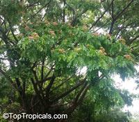 Samanea saman, Albizia saman, Pithecellobium saman , Rain Tree, Monkeypod, Cenizaro, Cow TamarindClick to see full-size image