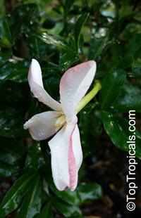 Hyperacanthus amoenus, Gardenia amoena, Thorny gardenia, Murombe, Bembethu  Click to see full-size image