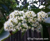 Eucalyptus deglupta , Rainbow Eucalyptus, Mindanao Gum, Rainbow Gum  Click to see full-size image