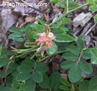 Indigofera spicata, Creeping Indigo, Trailing Indigo  Click to see full-size image