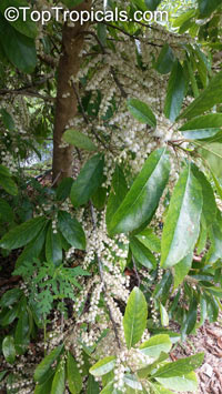 Elaeocarpus serratus, Ceylon Olive  Click to see full-size image