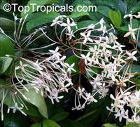 Ixora odorata - Fragrant Ixora  Click to see full-size image