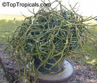 Vanilla dilloniana, Leafless Vanilla Orchid, Dillons VanillaClick to see full-size image