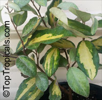 Elaeagnus pungens, Thorny Elaeagnus, Spotted Elaeagnus, Silverthorn  Click to see full-size image