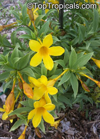 Allamanda schottii, Allamanda neriifolia , Dwarf Golden TrumpetClick to see full-size image