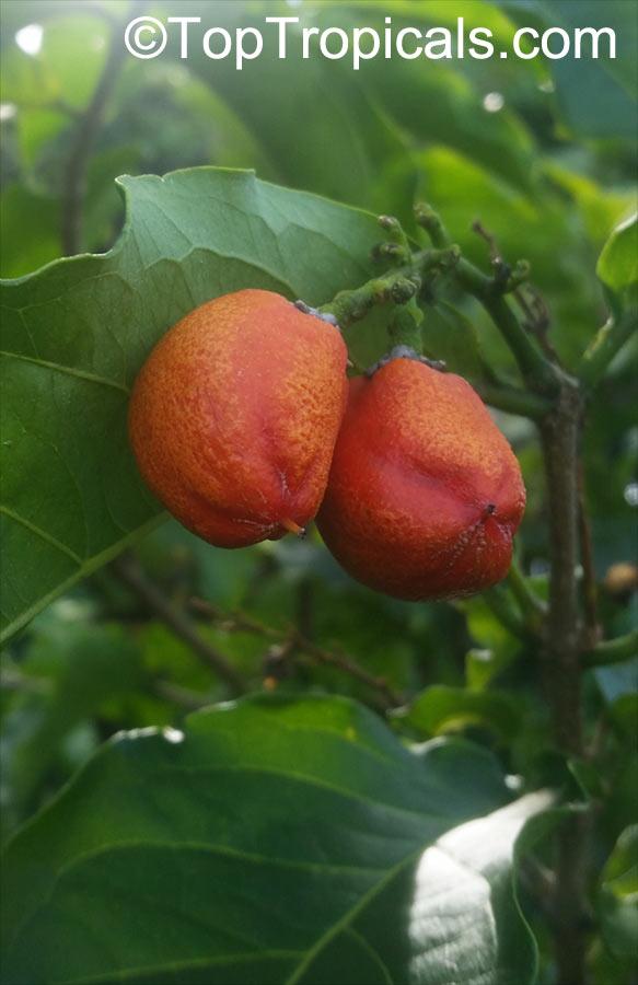 Bunchosia Argentea Peanut Er Tree Click To See Full Size Image