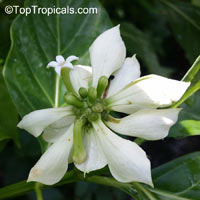 Morinda latibractea, Kesengelengel  Click to see full-size image