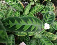 Calathea warscewiczii, Calathea  Click to see full-size image