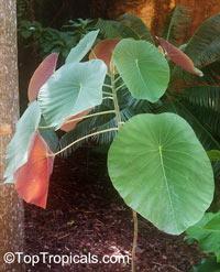 Macaranga sp., Macaranga, Nasturtium Tree, Parasol Leaf Tree  Click to see full-size image