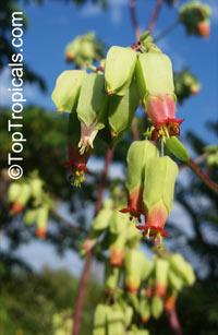 Bryophyllum proliferum, Kalanchoe prolifera, Blooming Boxes  Click to see full-size image