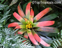 Unknown 91, Bromeliad  Click to see full-size image