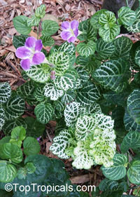 Asystasia gangetica, Chinese Violet, Creeping Foxglove, Ganges Primrose