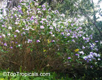 Brunfelsia sp., Lady of the Night  Click to see full-size image