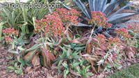 Kalanchoe mortagei, Kalanchoe  Click to see full-size image
