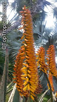 Aloe marlothii, Mountain Aloe, Flat-flowered Aloe Click to see full-size image