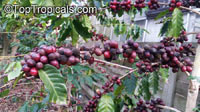 Coffea arabica, Coffee  Click to see full-size image