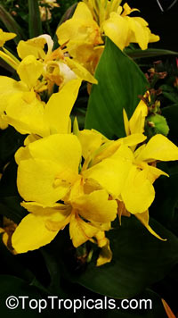 Canna sp., Canna Lily, Canna  Click to see full-size image