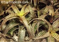 Orthophytum sp., OrthophytumClick to see full-size image
