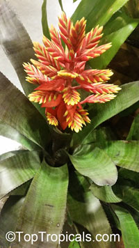 Aechmea tillandisiodes - seeds  Click to see full-size image