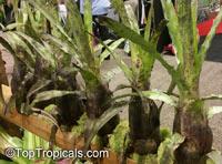 Hohenbergia pennae, Hohenbergia  Click to see full-size image