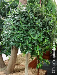 Ficus microcarpa, Ficus nitida, Ficus retusa, Chinese banyan, Indian Laurel  Click to see full-size image