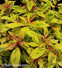 Hamelia patens, Fire Bush, Firecracker Plant  Click to see full-size image