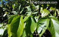 Banisteriopsis caapi, Banisteria caapi, Ayahuasca, Caapi, Yaje  Click to see full-size image